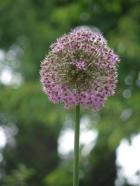 Allium giganteum (okrasný česnek)