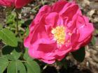 Rosa gallica (růže galská)