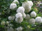 Viburnum opulus ´Sterile´ (kalin sněhová koule)