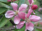 Malus ´Hopa´ - okrasná jabloň