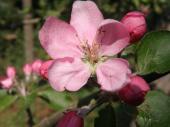 Malus ´Niedzwekiana´ - okrasná jabloň