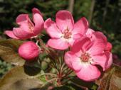 Malus ´Nippissing´ - okrasná jabloň