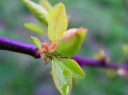Rašení lístků dřevin, další neklamný důkaz příchodu jara