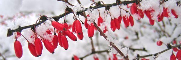 Plody a květy, které zůstanou přes zimu na keřích a záhonech, nám poskytnou barvy