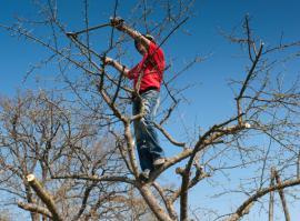 Řez ovocného stromu