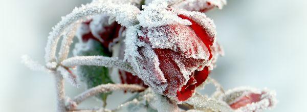 V zimě zahradu zpestří třeba i zapomenutá růže