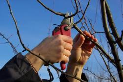 Řez ovocné dřeviny, na slabší větve postačí zahradnické nůžky