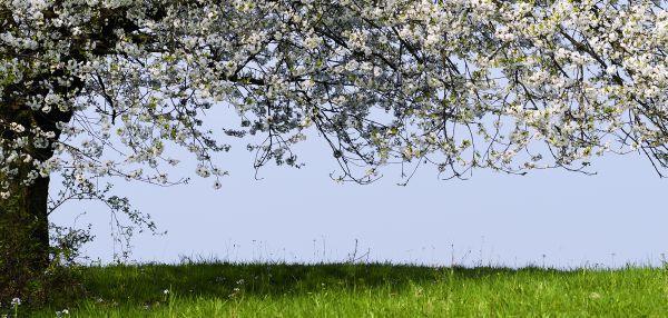 V dubnu už kvete, co může