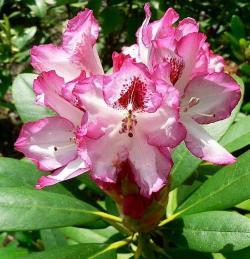 Květy se derou k životu, rozmnožování je v plném proudu, kvetoucí cizokrajný rododendron