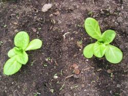 Abychom mohli zeleninu brzy sklidit