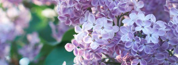 Šeřík, tradiční květnový symbol