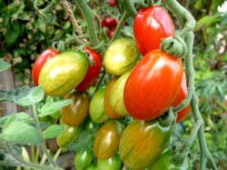 Jakmile rajčata přejdou mrazem, jejich dozrávání končí