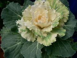 Okrasné zelí - proč ne - květina jako květina