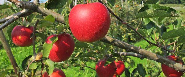Jablka - šťavnaté pokušení krásné na pohled