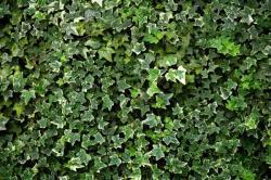 Břečťan zůstává zelený celoročně, obnaženy však zůstanou stěny, na kterých se popíná psí víno