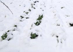 Pokud je dost sněhu, není třeba chvojí ani geotextílie, mrazuvzdorná zelenina přežije