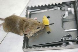 Myš chycená ve sklapovací pasti, past jí zlomí vaz