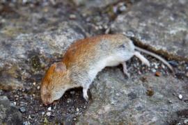 Otrávený potkan