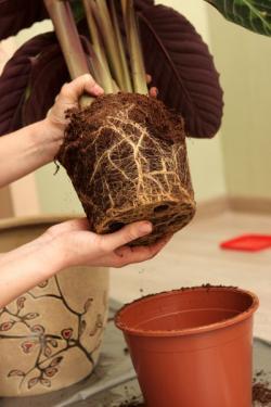 Vyjmutí rostliny z původního obalu
