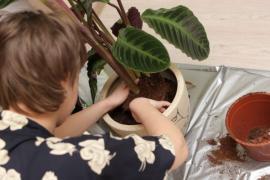 Přesazování rostliny do nového květináče