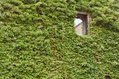 Popínavky na stěně - stálezelený břečťan
