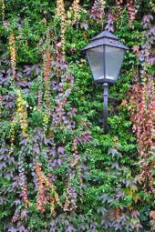 Popínavky na stěně - kombinace stálezelených a opadavých druhů rostlin