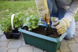Výsadba truhlíkových rostlin