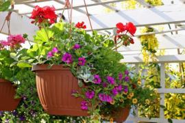 Rostliny zavěšené na krokvích pergoly v mobilních nádobách, z boku je vidět treláž