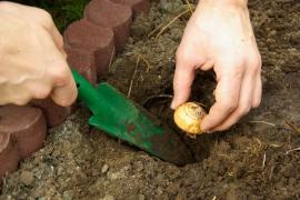 Výsadba cibule do vhodné hloubky