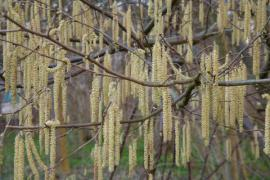 Nebezpečí pylů číhá na alergika už brzy na jaře