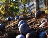 Bohatá podzimní sklizeň - spadané švestky - někdo si pochutná na povidlech, jiný je nechá kvasit