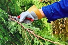 Větve řezem tvarovaných jehličnanů (chvojí) můžeme použít jako tepelnou izolaci pro choulostivější rostliny