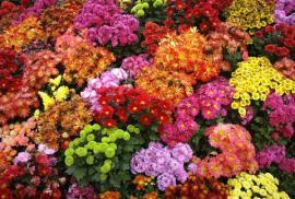 Chryzantémy - záplava barev