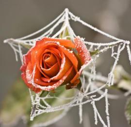 Květy růží může už v říjnu překvapit mráz, ale není to krása?
