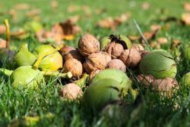 Ořechy jsou velice zdravé, například na nervy, navíc si bez nich lze jen těžko představit třeba vánoční tabuli