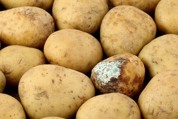 Sklizené brambory uskladníme a přebíráme - hniloba se nesmí šířit