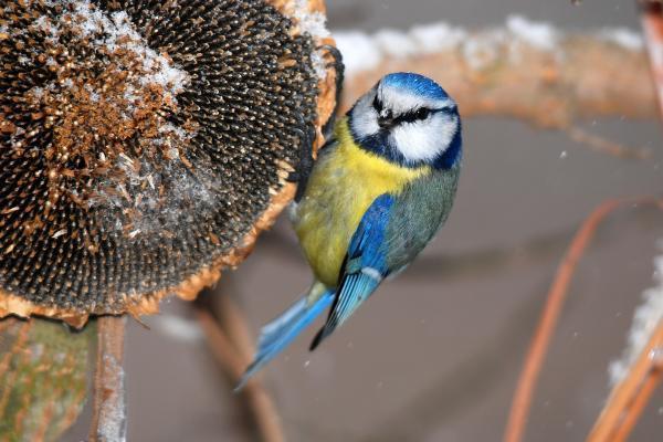 Nezapomeňte ani na ptactvo, na zahradě ponechané slunečnice poskytnou vítanou lahůdku