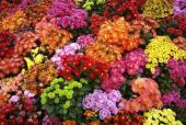 Z nepřeberného množství barev chryzantém si vybere každý