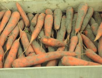Uskladňovaná mrkev