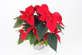 Nejen živé řezané květiny, ale třeba i tradiční vánoční hvězdy v květináči