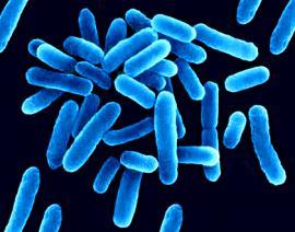 Legionella Pneumophylis