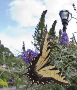 Vzácný motýl ve městě? Díky extenzivní trvalkové výsadbě!