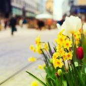 Na jaře osvěží ulice měst a parky cibuloviny