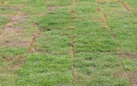 Čerstvě položený travní koberec
