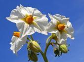 Bramborový květ - kvůli němu k nám byla brambora dopravena jako exotická rostlina