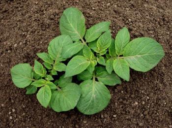 Maldá rostlinka brambory