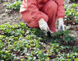 Odstranění suchých a napadených listů po zimě
