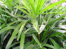 Bambusová palma
