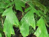 Karyota - palma s rybím ocasem