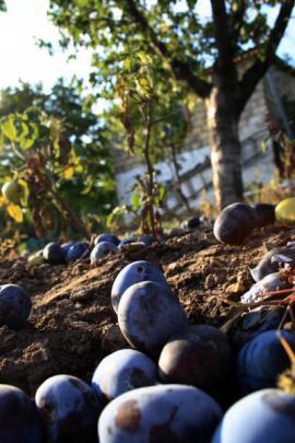 Bohatá úroda švestek - ty popadané se nechají kvasit na slivovici